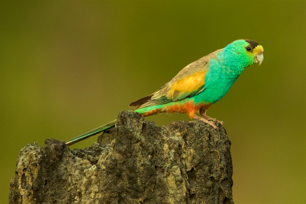 Golden-shouldered Parrot (Psephotellus chrysopterygius) male perched on termite mound containing his nest cavity.